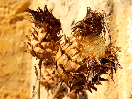 Close up of a sun dried thistle head caused by a prolonged heatwave
