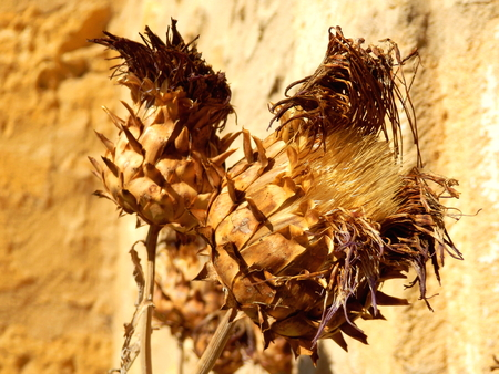 Close up of a sun dried thistle head