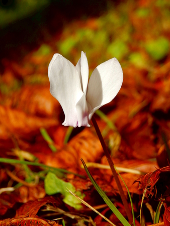 Close up of a white cyclamen growing through autumn leaves in an orchard Reklamní fotografie