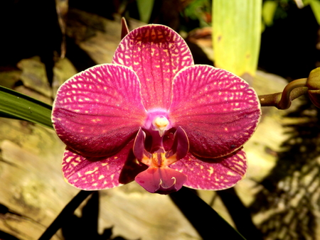 Close up of a Moth Orchid (Pink Phalaenopsis), taken on the Island of Madeira Reklamní fotografie