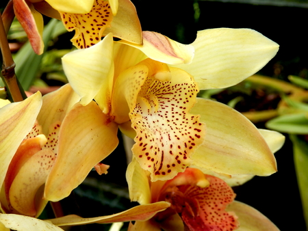 Close up of a Pale Yellow Cymbidium Orchid with speckled labellum, taken on the Island of Madeira