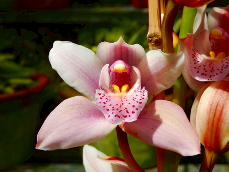 Close up of a Pink Cymbidium Orchid with speckled labellum, taken on the Island of Madeira Reklamní fotografie