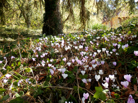 Bank of pink and white cyclamen growing wild in a woodland area Reklamní fotografie