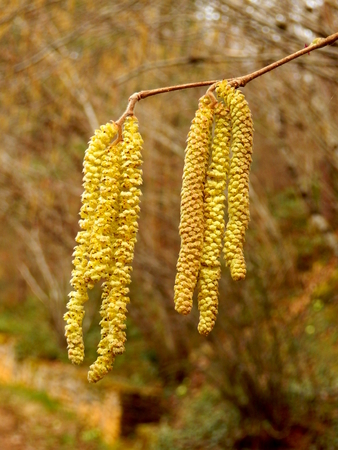 Close up of a group of catkins in a woodland setting