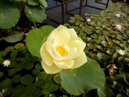 Close up of a Water Lily - variety Nymphaea Gallatée Reklamní fotografie