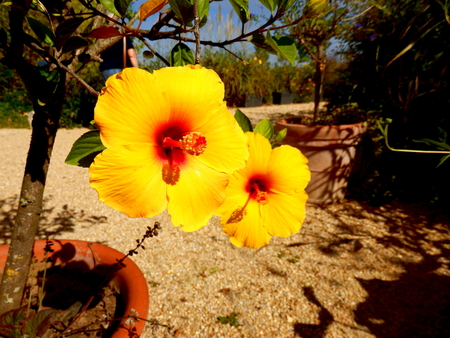 Close up of yellow Hibiscus flowers with a fully developed pistil Reklamní fotografie