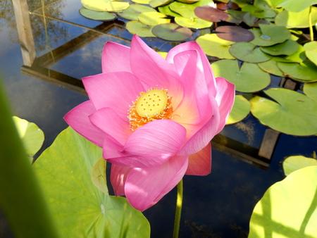 Close up of a Lotus Flower - variety First Lady Reklamní fotografie