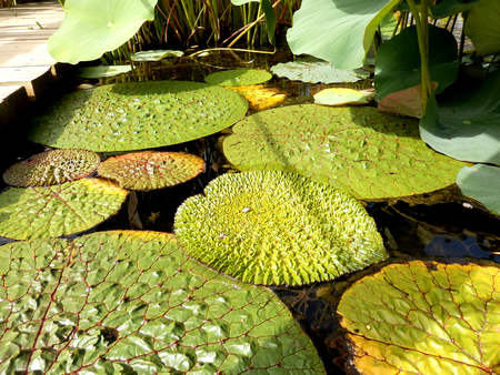Close up of tropical lily pads showing the ridged and spiked surface Reklamní fotografie