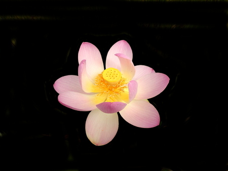 Close up of a Lotus Flower - variety First Lady. Isolated on a black background. Reklamní fotografie