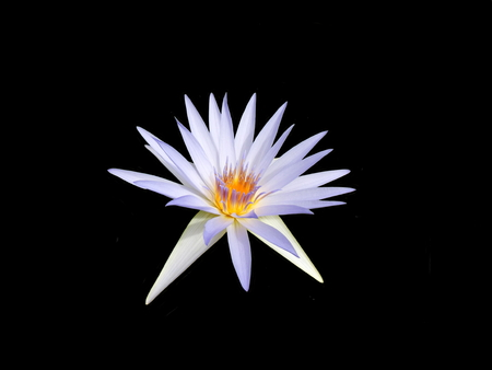 Close up of a Blue Tropical Water Lily - variety Star of Siam. Isolated on a black background. Reklamní fotografie