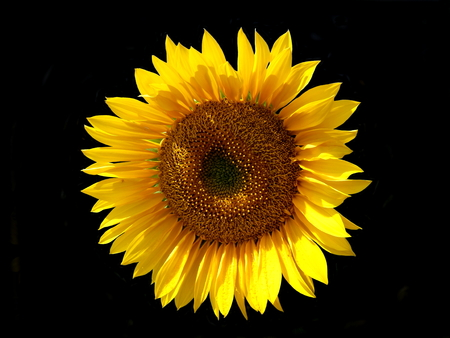 Close up of a sunflower isolated on a black background