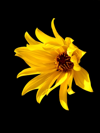 Close up of the head of a yellow daisy also known as Helenium, isolated on a black background