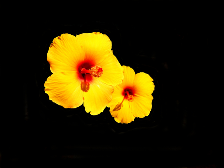 Close up of yellow Hibiscus flowers isolated on a black background