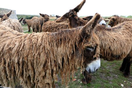 Ile de Ré donkeys or Poitou donkeys. Were employed largely as working mules in the island's salt industry. Most distinguishing feature of Poitou donkeys is their long shaggy coat, called a cadanette