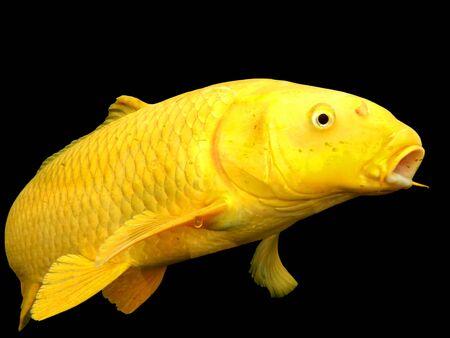 Golden yellow Koi Carp isolated on a black background