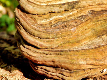 Close up of a Phellinus igniarius mushroom showing the different layers of growth