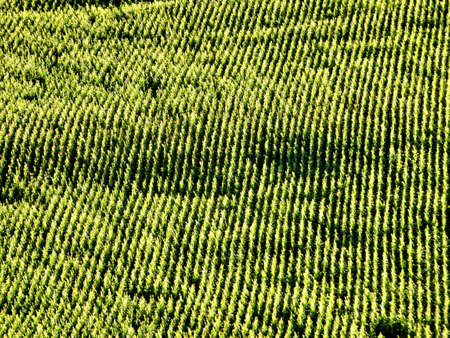 Field of sweet corn as viewed from a hot air balloon