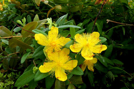 Close up of Hypericum caylcyinum flowers aka Rose of Sharon Stock Photo