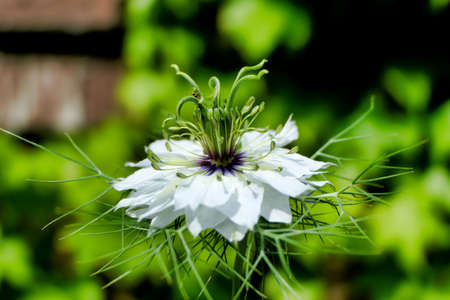 Close up of a Cornflower (Centaurea cyanus)