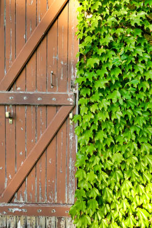 Traditional French farmhouse old shabby door shutter, surrounded by Virginia Creeper leaves