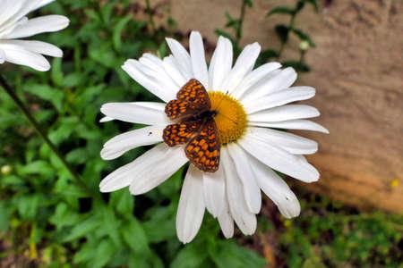 Heath Fritillary Butterfly (Mellicta athalia) feeding on the pollen of a Leucanthemum flower Stock Photo
