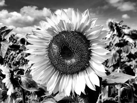 Black and white close up of a sunflower head in a field of sunflowers