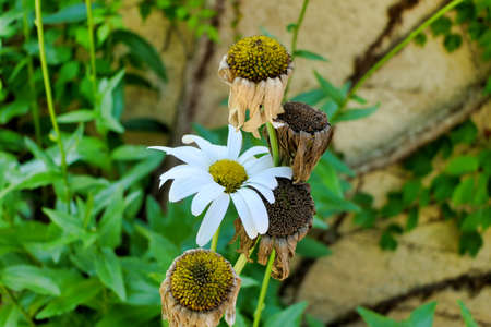 Life and death of a Leucanthemum bloom, portrayed by the appearance of a fresh bloom among the decaying and dead flower heads.