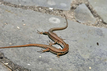 Close up of two male wall lizards (Podarcis muralis) in the middle of a fight Stock Photo