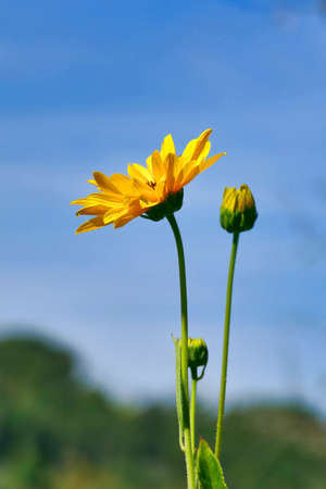 Close up of the head of a yellow daisy, also known as Helenium, bursting into bloom against a blue sky