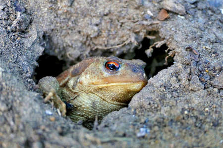 Close up of a female European Common Toad (Bufo bufo) coming out of its underground home Stock Photo
