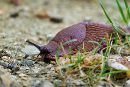 European red slug aka Chocolate arion (Arion rufus) crawling over a gravel path. Stock Photo