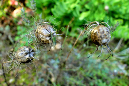 Close up of dried Cornflower seed heads(Centaurea cyanus). The centre one has a juvenile Saddle-backed bush cricket (Ephippiger ephippiger) resting on it.