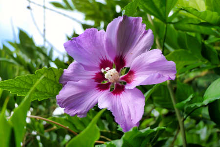 Close up of a pink Hibiscus flower with a fully developed pistil Stock Photo