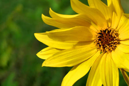 Close up of the head of a yellow daisy, also known as Helenium, bursting into bloom