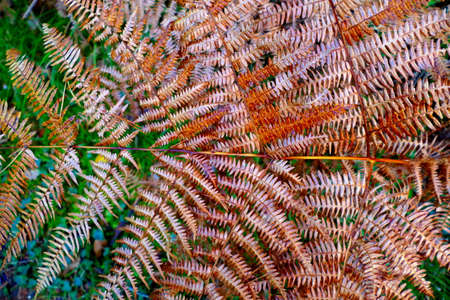 Close up of a woodland fern changing to autumnal colours