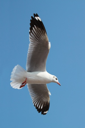 Flying Seagull in The Blue Sky