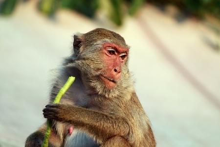 long bean: Monkey eating yard long bean Stock Photo