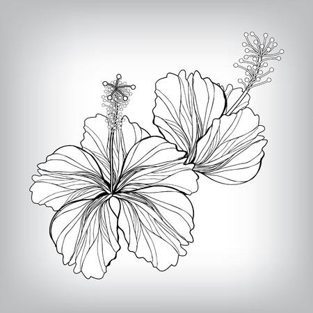 dessin fleurs: Hibiscus dessin de fleur. Elements for design, EPS10 Vector background