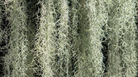 tillandsia: A flowering plant : Spanish moss Tillandsia usneoides Stock Photo