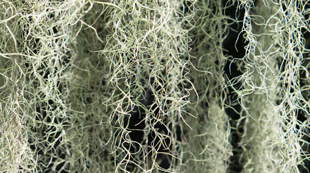 flowering plant: A flowering plant : Spanish moss Tillandsia usneoides Stock Photo