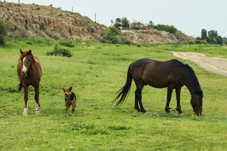 Two horses walking and are guided by dog on grass field