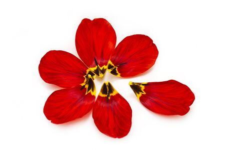 tulip: Sześć czerwone, spadające płatki tulipanów umieszczone stylizowanego kwiatu tematem nowym, ponieważ były podarte płatki na białym tle.
