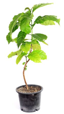 coffee tree: Isolated Coffee Tree Stock Photo