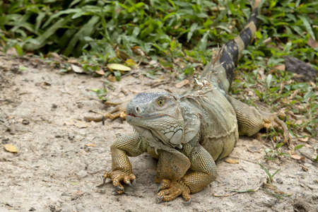 big iguana on floor Stock Photo - 12723879