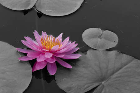 Pink lotus blossoms  on pond photo