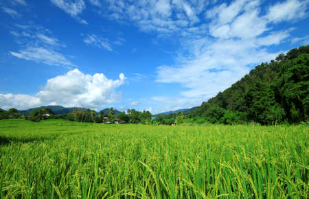 green rice field with a blue sky and clouds  Stock Photo - 12724930