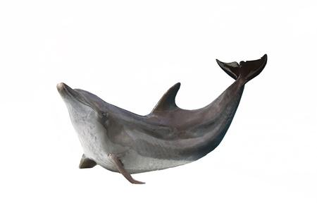 El show de los delfines en el en fondo blanco Foto de archivo