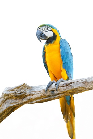 Blue   Gold Macaw isolated on a white background  Stock Photo