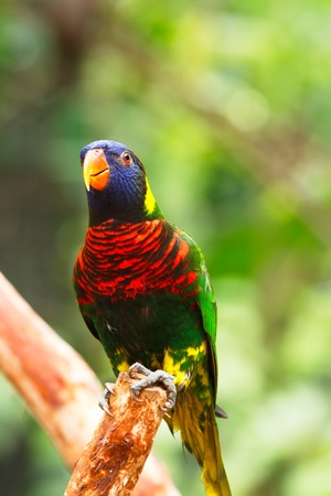 Rainbow Lory standing on a tree branch, parrot  Stock Photo - 13422236