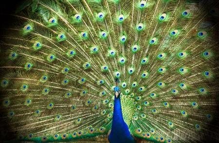 beautiful peacock Banco de Imagens